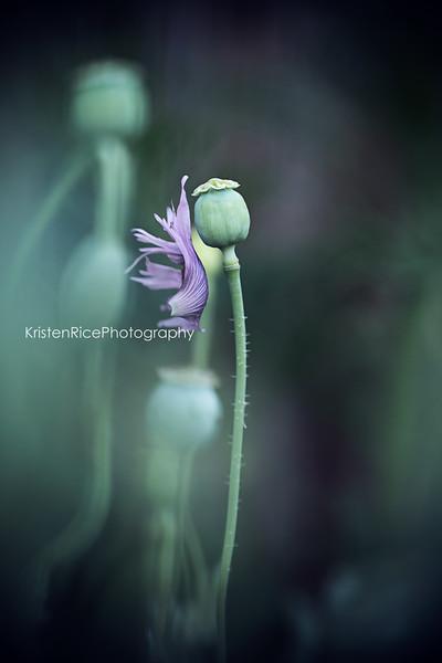 Poppy petal falling Kristen Rice Buffalo NY