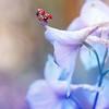 Ladybug on Delphinium Kristen Rice