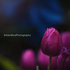 magenta tulips 4 17 Kristen Rice