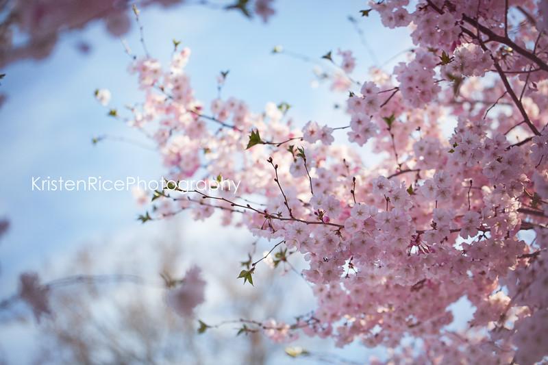 cherry blossom buffalo Ny Kristen Rice 2