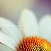 White Coneflower Echinacea