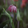 Fritillaria Checkered Lily Meleagris Kristen Rice