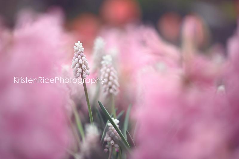Pink Grape Hyacinth Muscari Kristen Rice