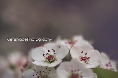 ornamental pear blossoms Kristen Rice