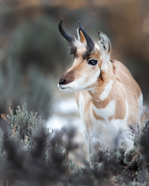 This photograph of a Pronghorn was captured in Yellowstone National Park, Wyoming (1/15). This photograph is protected by the U.S. Copyright Laws and shall not to be downloaded or reproduced by any means without the formal written permission of Ken Conger Photography.