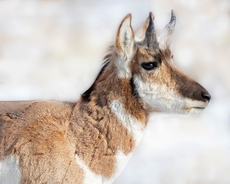 Yellowstone National Park Pronghorn