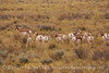 Pronghorns, Kremmling, Colorado (5)