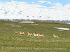 Pronghorn herd chasing coyote, Laramie WY (4)