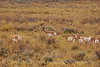 Pronghorns, Kremmling, CO (5)