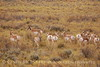Pronghorns, Kremmling, CO (1)