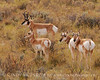 Pronghorns, Kremmling, CO (2)