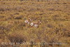 Pronghorns, Kremmling, Colorado (4)