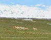 Pronghorn herd chasing coyote, Laramie WY (5)