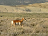 Pronghorn, Colorado (2)