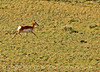 Pronghorn, Colorado (1)