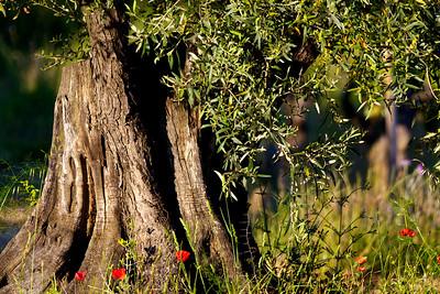 Bois d'olivier