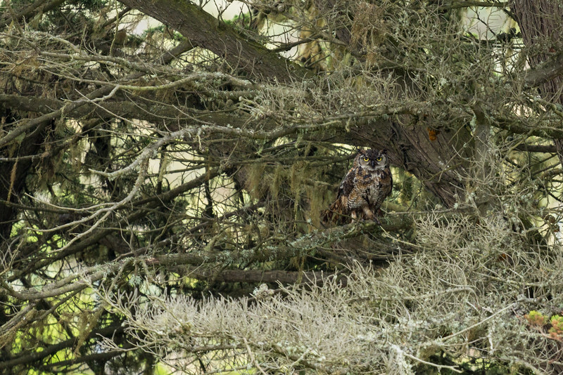 Great Horned Owl well hidden...........