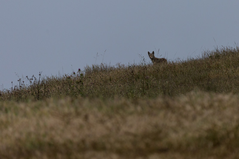 Coyote keeping a watch on me