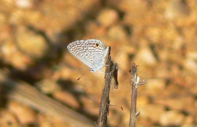 Ceraunus Blue 778 Nov 5, 2008  7:03 a.m.  P1040778 Ceraunus Blue, Hemiargus hanno ceraunus.  Seen here at gas station/church area, and Maricao, Guanica-334 & town, C.R.Salt Flats and Baños de Coamo