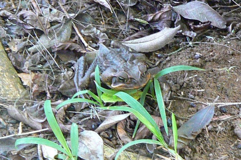 Rhinella marina Cane Toad 708 Nov 4, 2008 8:00 a.m.  P1040708 Bufo Marinus - now Rhinella marina, Cane Toad, or Giant Toad at Cambalache Forest