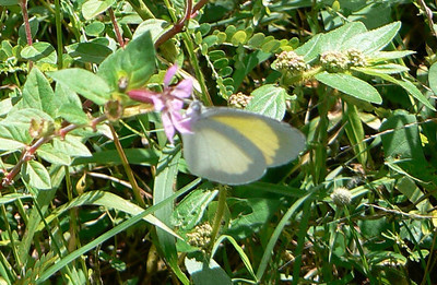 Baton Yellow 747 Nov. 4, 2008 9:28 a.m.  P1040747 Baton Yellow.  Seen here at Cambalache Forest, + El Tunel, and Guanica on 334
