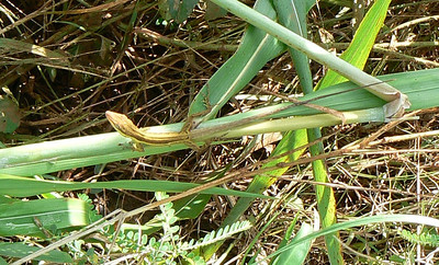 A striped Anole744 Nov 4, 2008 9:24 a.m.  P1040744 A striped anole at Cambalache Forest.