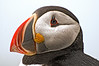 Atlantic Puffin, photographed at Machias Seal Island, off the Downeast coast of Maine.