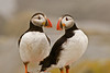 Puffins on Machias Seal Island, Maine