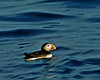 Atlantic Puffin, photographed at Machias Seal Island, off the Downeast coast of Maine