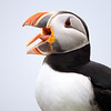 Atlantic Puffin in Newfoundland, Canada.