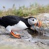 Atlantic Puffin drinking from a puddle in Newfoundland, Canada.