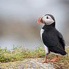 Atlantic Puffin in Newfoundland, Canada