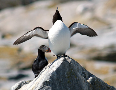 Razor Billed Auk