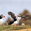 Atlantic Puffins in Newfoundland, Canada