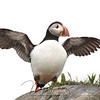 Atlantic Puffin spreading his wings in Newfoundland, Canada