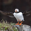 Atlantic Puffin after landing onshore in Newfoundland, Canada.