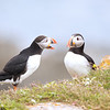 Atlantic Puffins in Newfoundland, Canada.