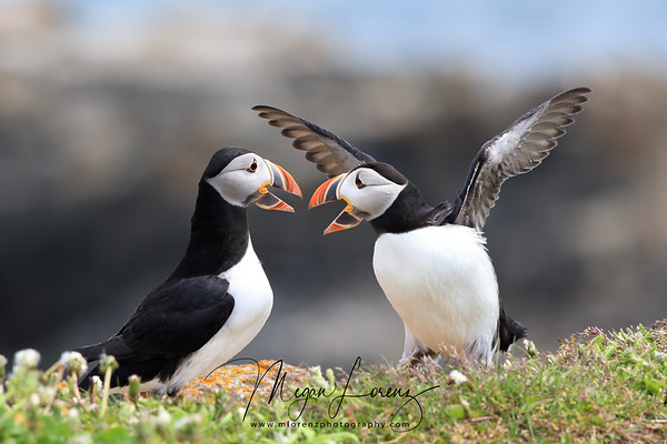 Atlantic Puffins fighting at the edge of a cliff in Newfoundland, Canada.