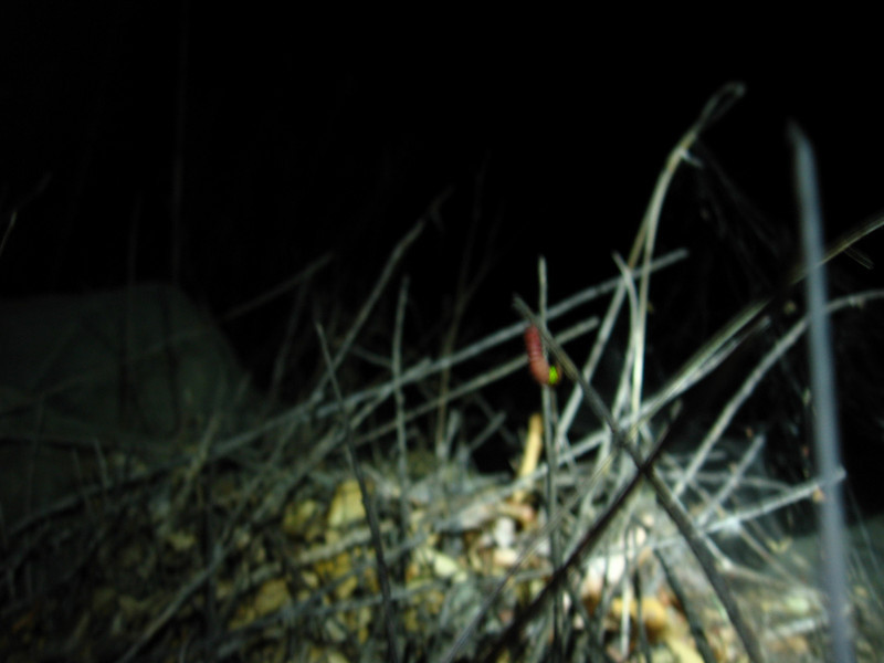A glowworm at night. I have never seen or heard of this before seeing one for myself. I always thought they were made up for kids toys. This is the real thing, I could see the glow from 100 feet away. I'm having a hard time finding information about these guys in this area.