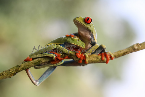 A. callidryas (Costa Rica)