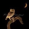 Athene noctua