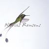 Inflight booted racket-tail (Ocreatus underwoodii)