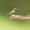 The booted racket-tail