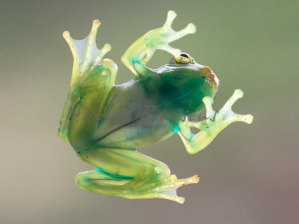 Boophis Sp. (Madagascar)