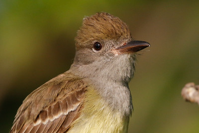 close view of Great-crested Flycatcher Trempealeau National Wildlife Refuge May 28, 2015