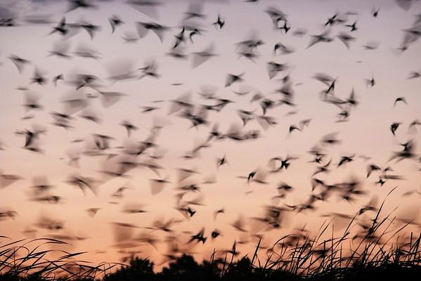 Purple Martins Swarm at Nimisila Reservoir