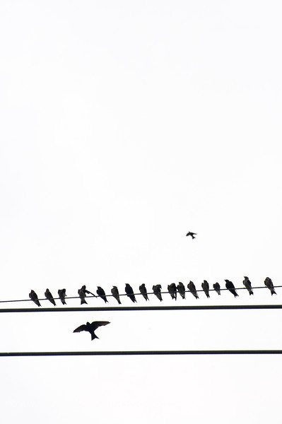 2013 purple martin migration-5266
