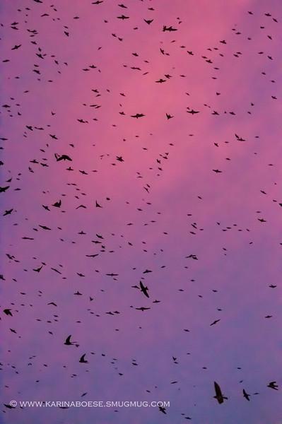 2013 purple martin migration-5585