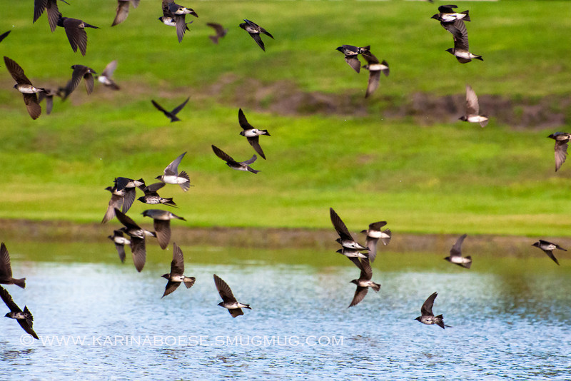 2013 purple martin migration-5424