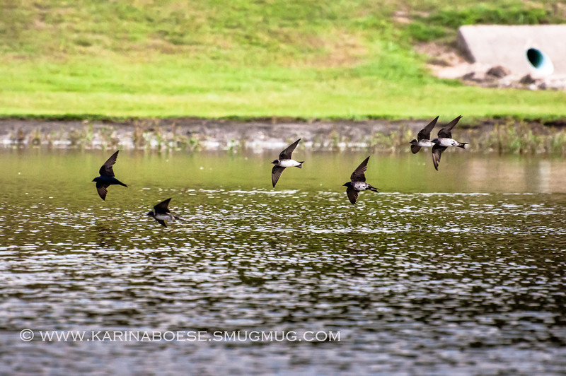 2013 purple martin migration-5342-2